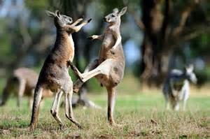 Australia-kangore